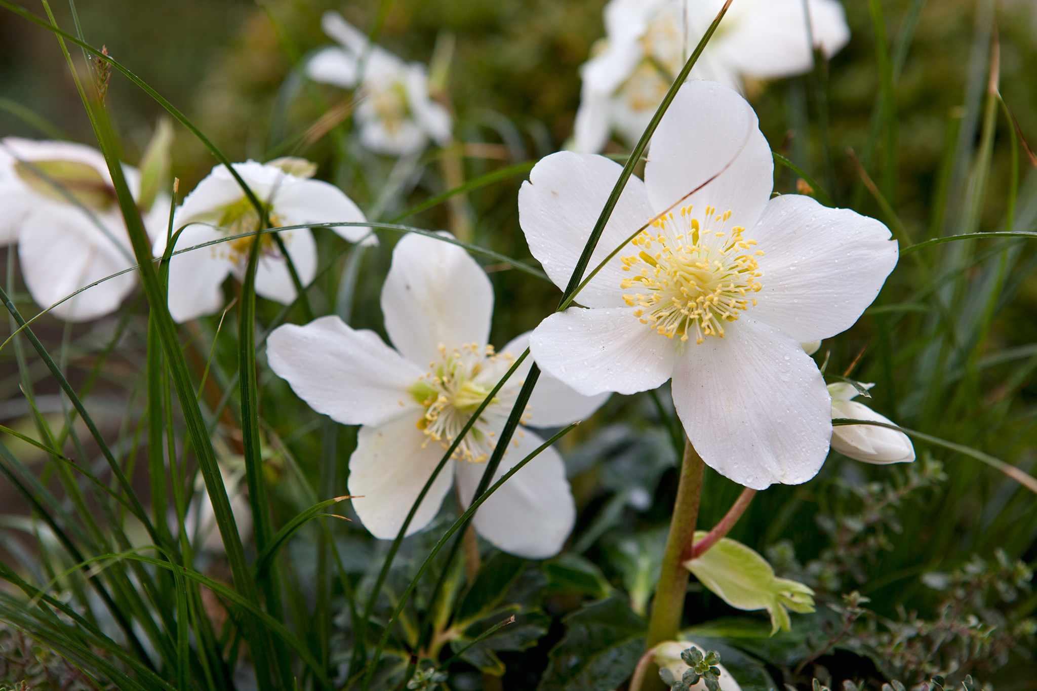 Christmas rose, Helleborus niger