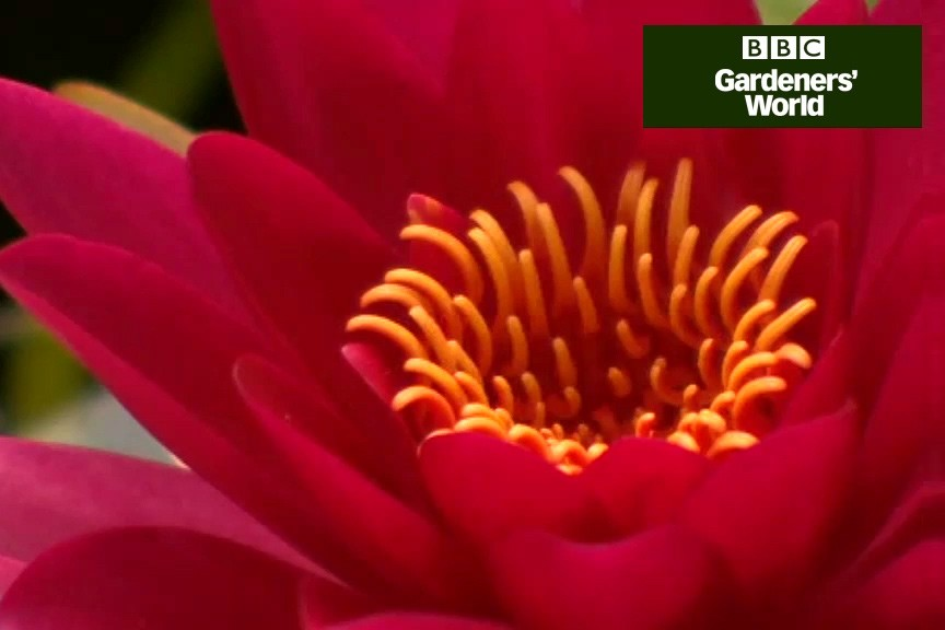 How to grow waterlilies video