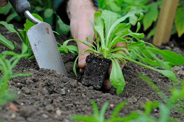 How to plant out cut flowers - planting plugs