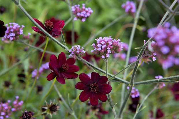 Brown-red chocolate cosmos with purple verbena