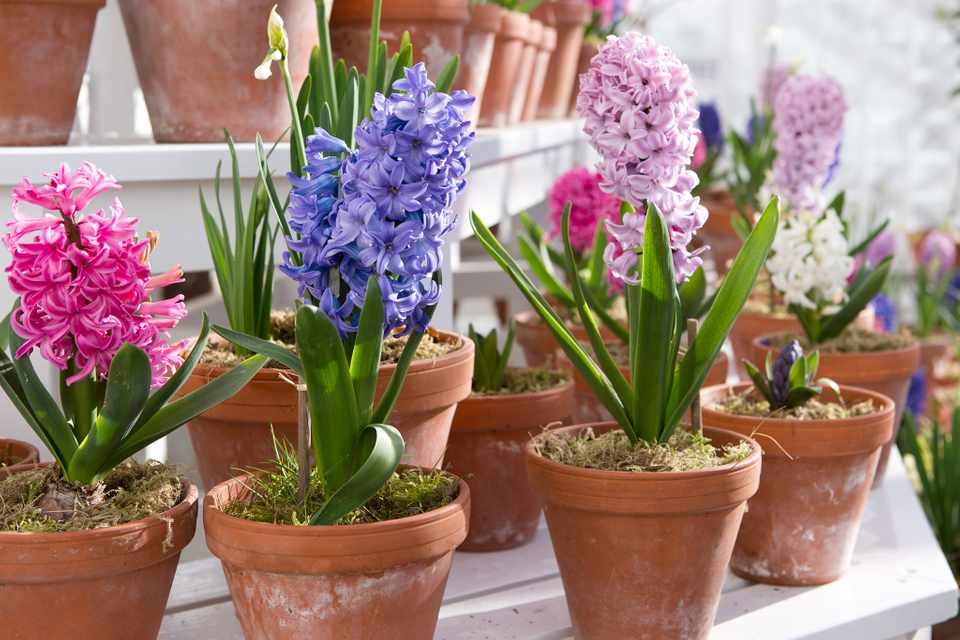 A variety of hyacinths in individual terracotta pots