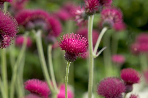 Magenta Cirsium rivulare flowers