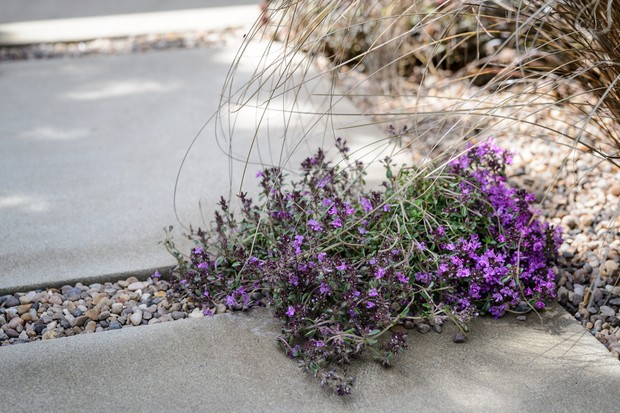 thyme-growing-in-a-path-3