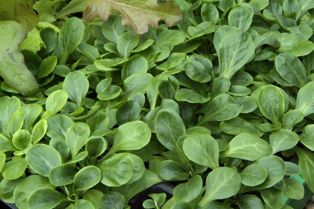 Young corn salad (lamb's lettuce) plants in modules