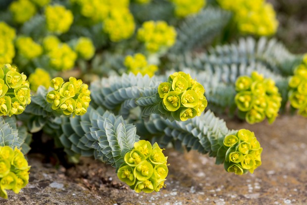 Lime green euphorbia flowers on silver green foliage