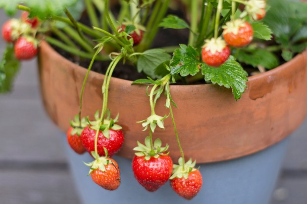 Strawberries growing in a terracotta pot