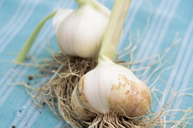 Small white bulbs of 'Solent Wight' garlic