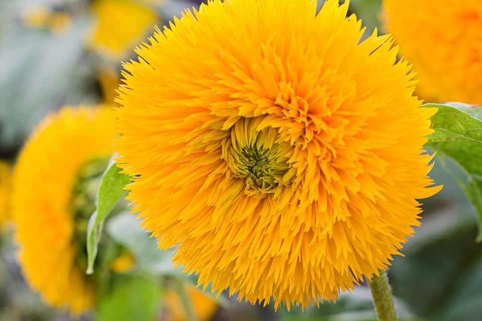 Ruffled orange flowerheads of sunflower 'Orange Sun'