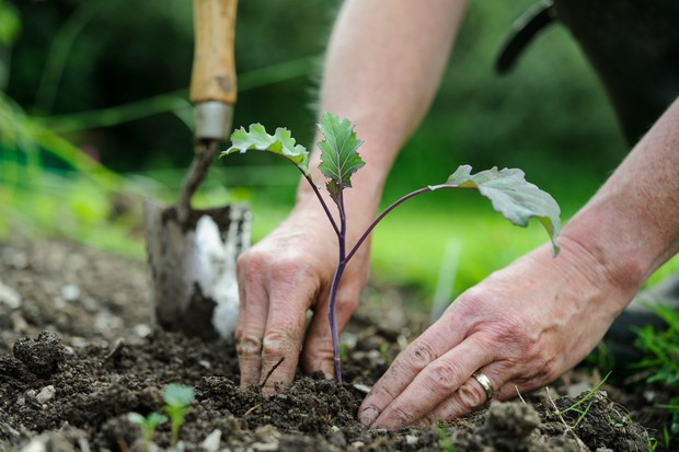 How to plant brassicas - planting the brassicas