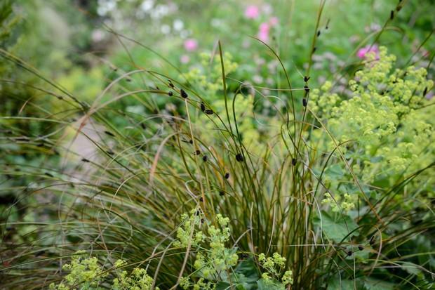 Wiry leaves and dark brown flowers of Carex dipsacea