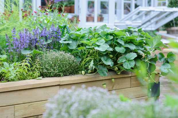 Culinary herbs to grow