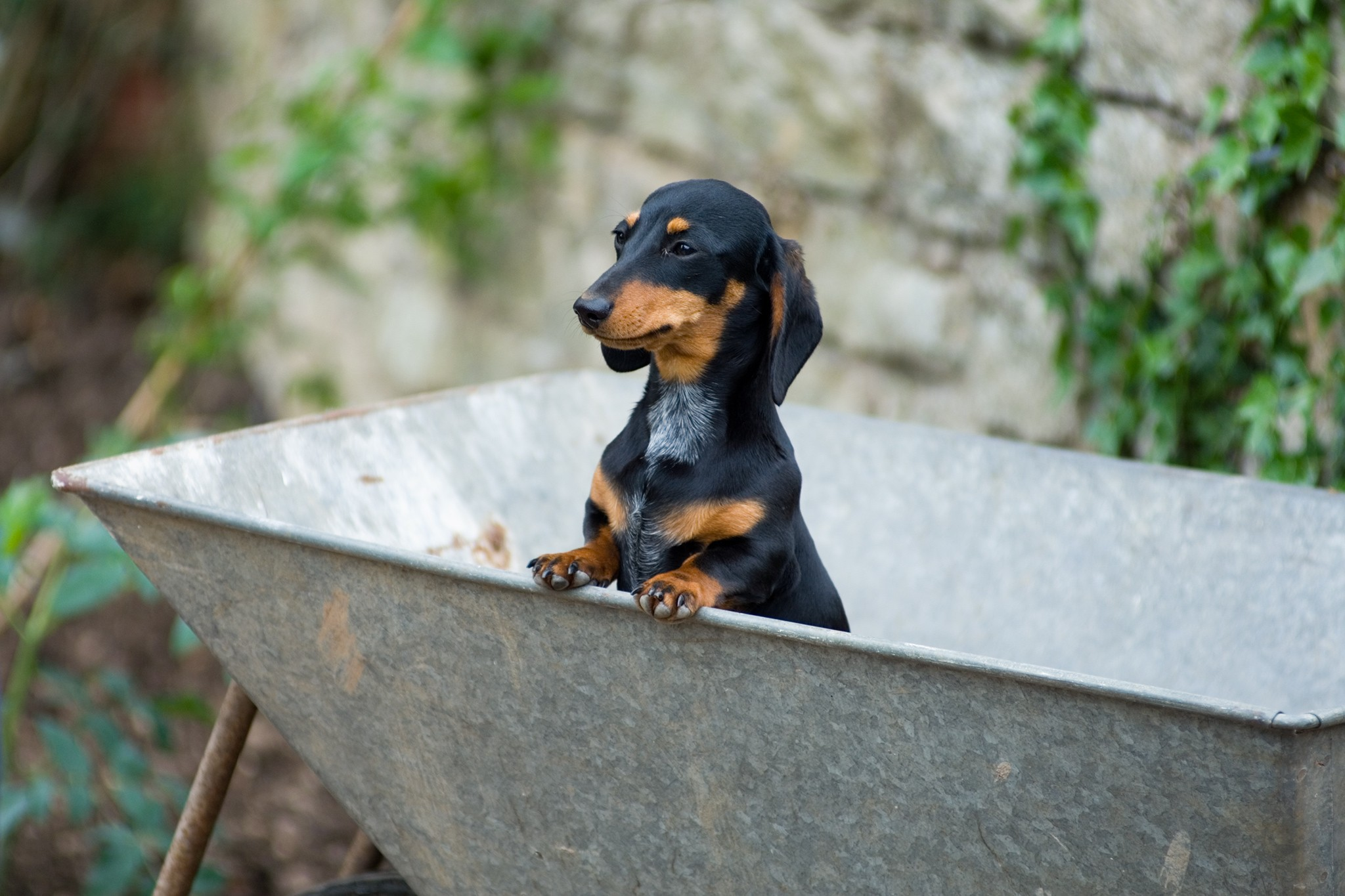 Dachsund in a wheelbarrow