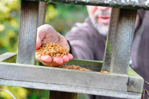 Putting mealworms on a bird table