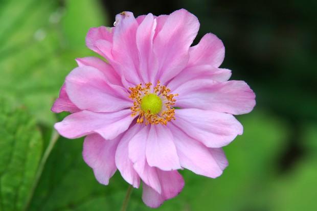 japanese-anemone-pamina-2