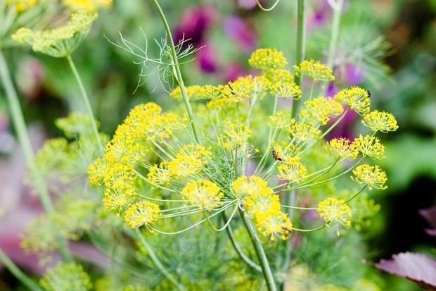 Dill flowers, Anethum graveolens