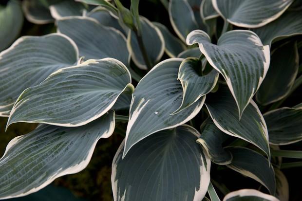 15 Of The Best Hostas To Grow Bbc Gardeners World Magazine