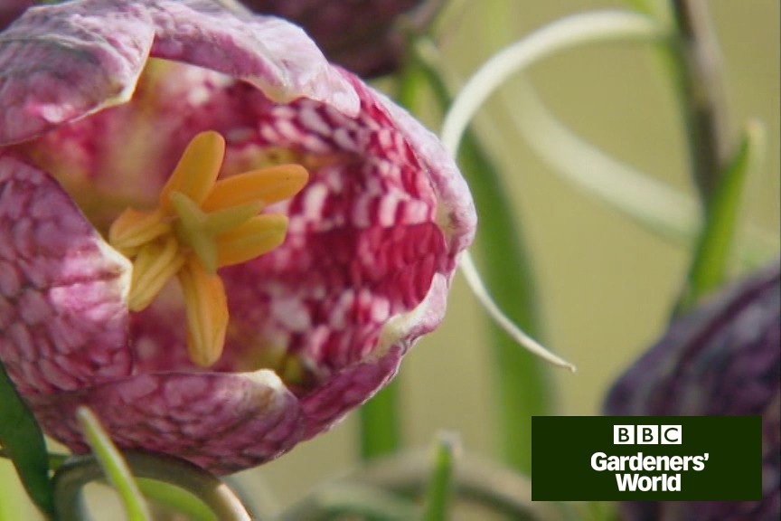How to plant fritillaries video