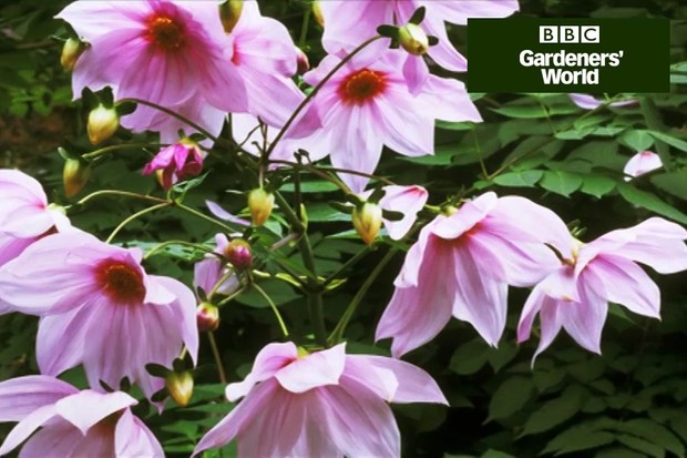 How to plant tree dahlias