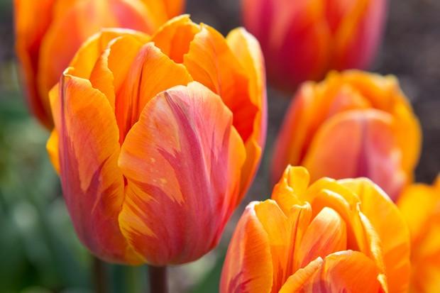 orange-tulip-prinses-irene-3