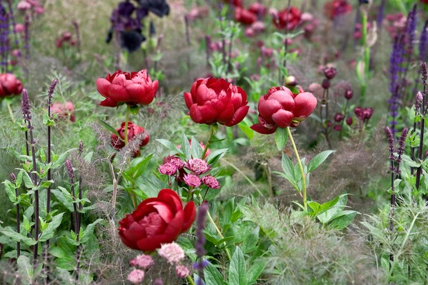 Deep red peonies in a mixed border