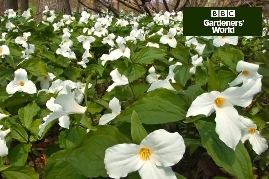 How To Grow Trilliums Video Bbc Gardeners World Magazine