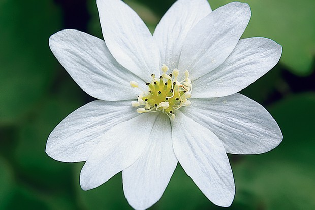 A white Hepatica 'Eisvogel' flower