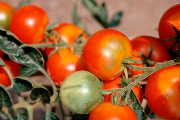 Salad tomatoes 'Ailsa Craig' ripening on the vine
