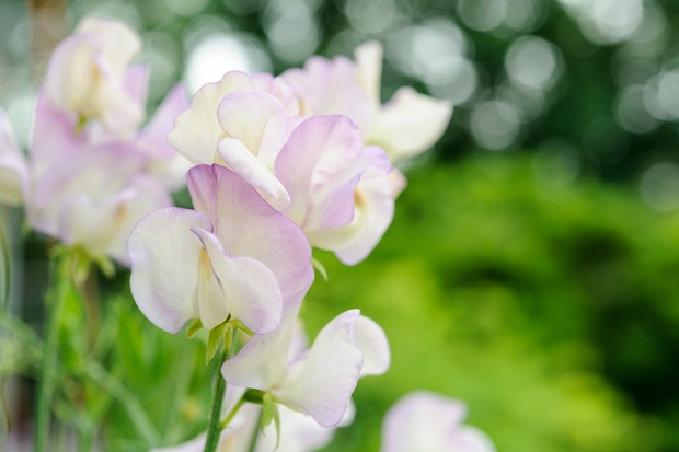 Purple-edged cream flowers of Lathyrus odoratus 'Hi Scent'