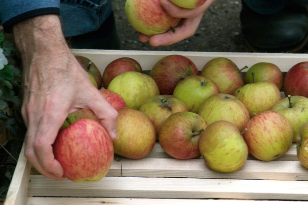 storing-apples-5