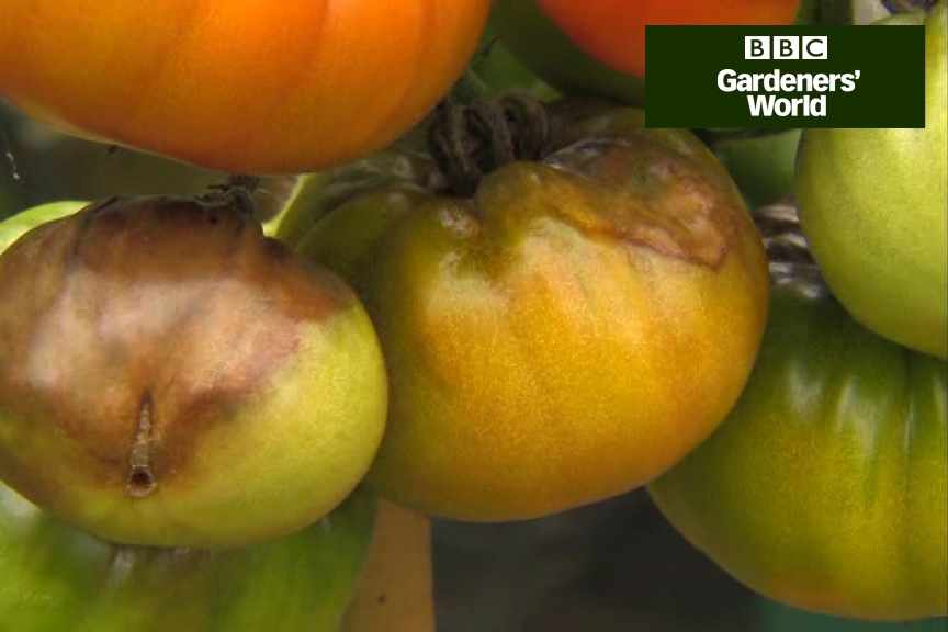 How to cope with tomato blight