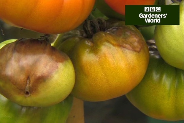 How to cope with tomato blight video