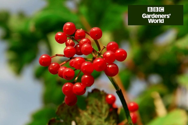 How to collect and sow native berries