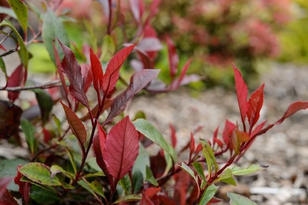 Red, new Photinia foliage