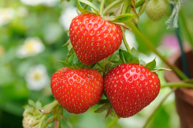 Strawberries ripe for picking