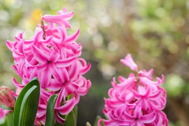 pink-flowered-hyacinthus-orientalis-2