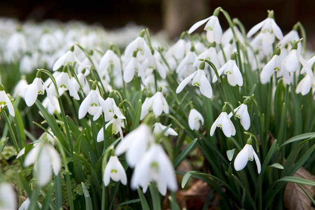snowdrops-in-flower-5