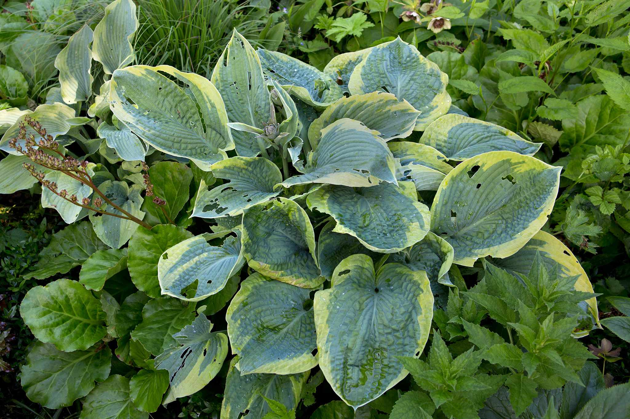 Hosta leaves with slug and snail damage
