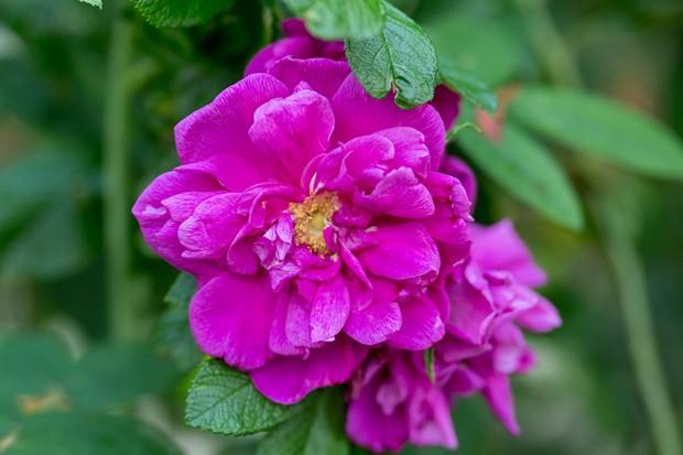 Deep neon pink Rosa 'Roseraie de l'Hay'
