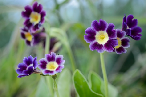 Purple-petalled, yellow-centered flowers of Primula auricula