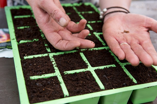 Sowing seeds into cellular trays