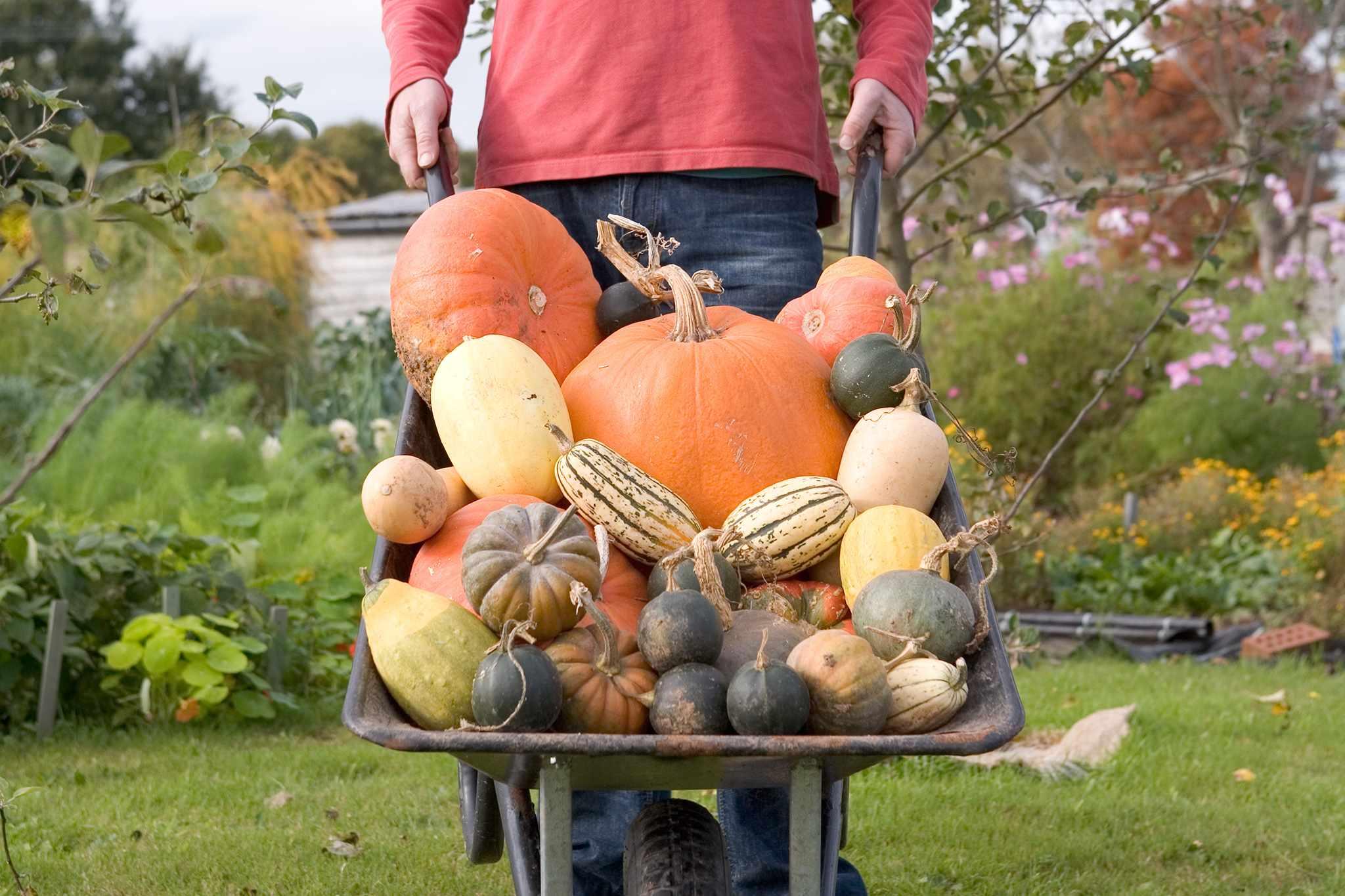 Harvesting pumpkins and squash
