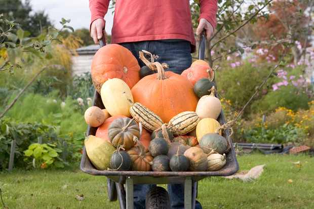 Harvesting pumpkins and squash