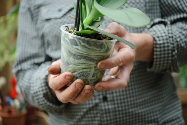 The base of an orchid plant with its green roots showing through the transparent plastic pot