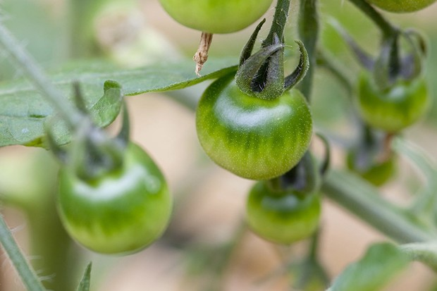 Why haven't my outdoor tomatoes ripened?