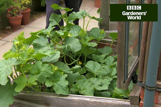 Monty Don's outdoor melon trial (part two)