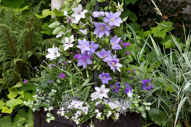 double-clematis-container-2