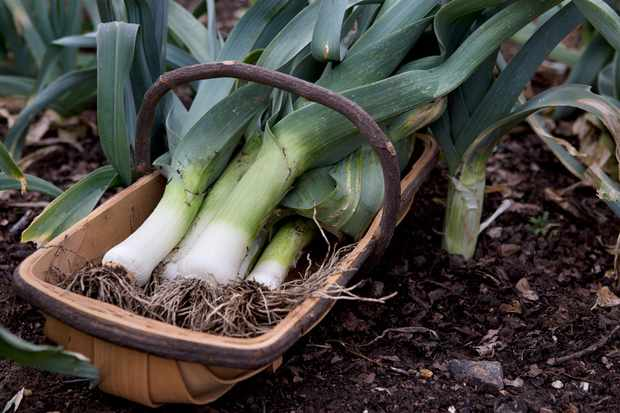 freshly-harvested-leeks-3