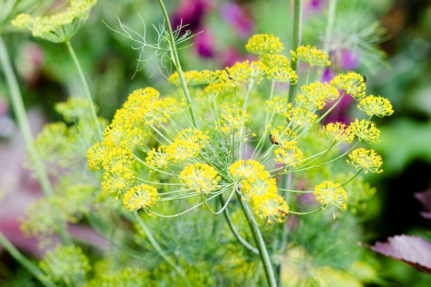 Yellow dill flowers