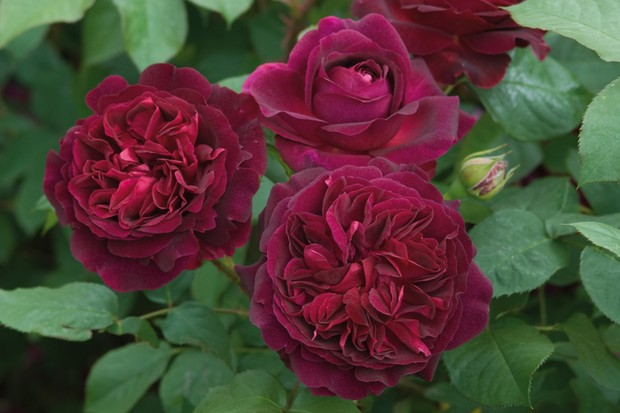 rosa-munstead-wood-image-courtesy-of-david-austin-roses-2