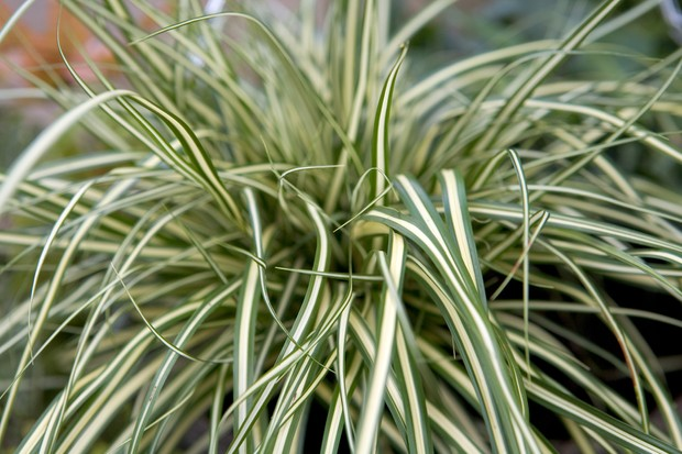 Variegated evergreen carex